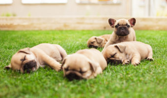 French Bulldog On Way To Becoming Most Popular Dog – Vets Are Worried!