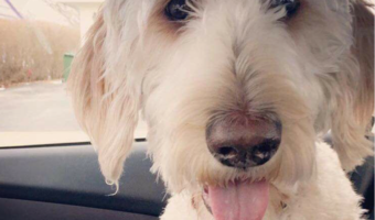 Cooper The Dog Found At Last – Lost Labradoodle WestJet Put On Wrong Plane Saved!