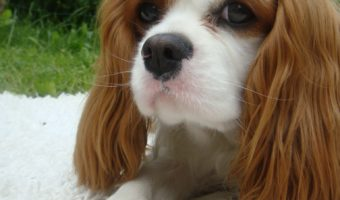 Most Anxious Dog Breeds
