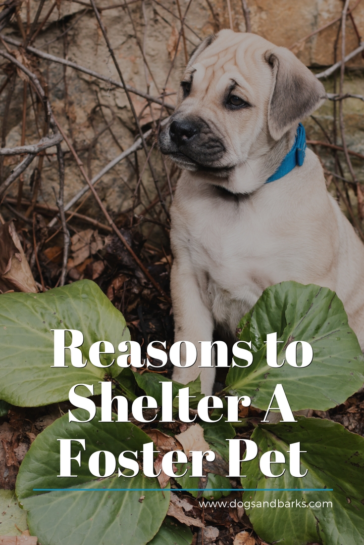 Reasons To Shelter a Foster Pet