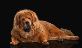 5 Most Enormous Dogs in the World