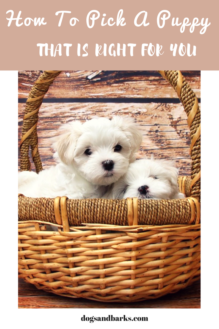 How To Pick A Puppy That Is Right For You
