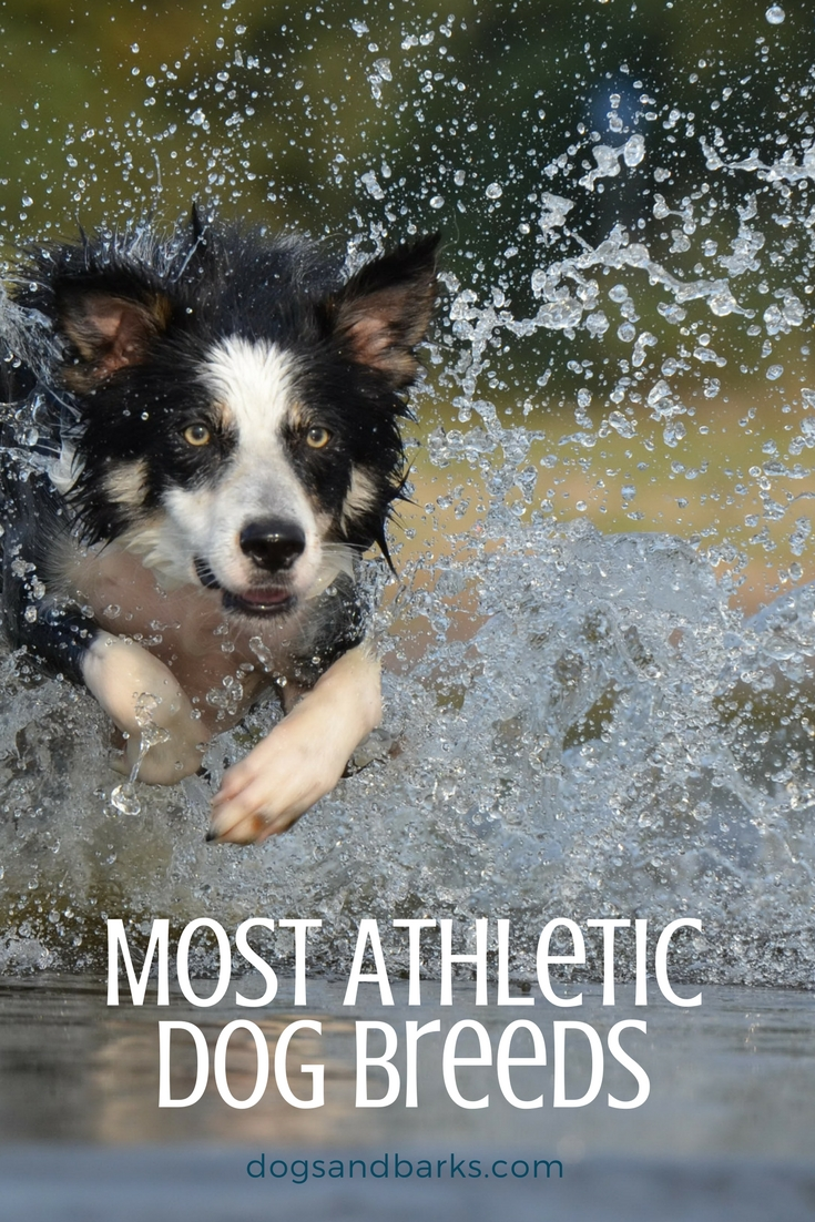 Most Athletic Dog Breeds - Dogs and Bark