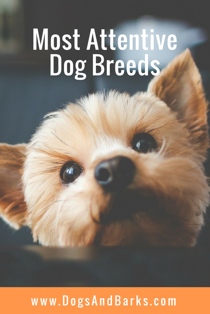 Most Attentive Dog Breeds