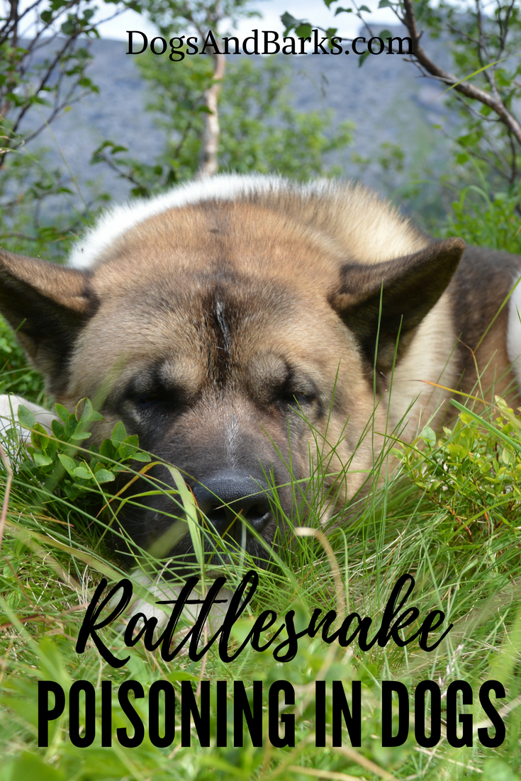 Rattlesnake Poisoning in Dogs - What To Do!